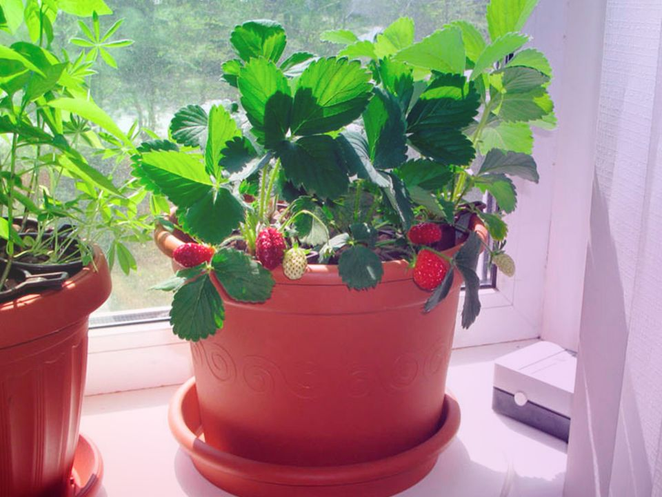 Как получить большой урожай, выращивая клубнику на подоконнике?