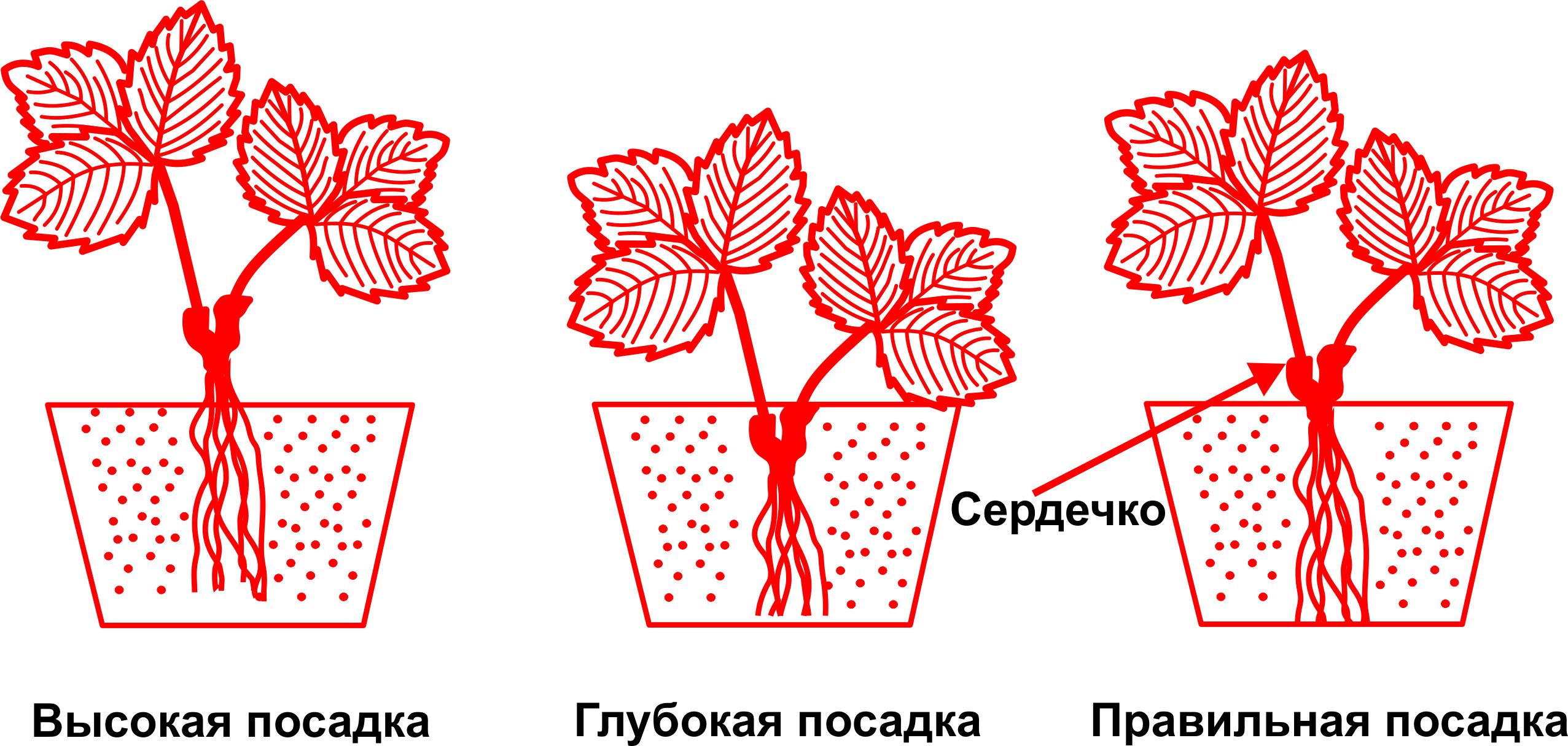 Сорт клубники Клери
