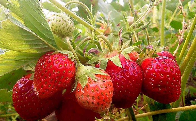Сорт клубники Вима Занта отличная новинка для сада
