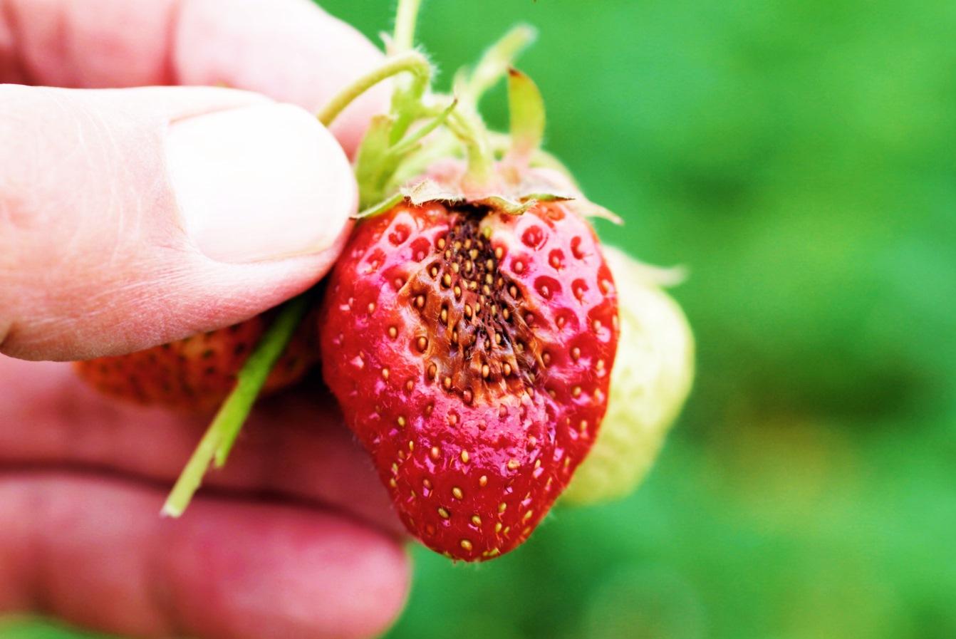 Антракноз как причина гнили ягод клубники, чем лечить