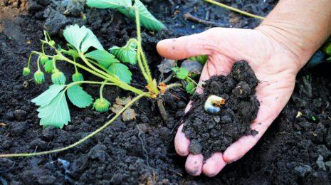 Борьба с личинками майского жука на клубнике: избавляемся от паразитов в огороде быстро и эффективно