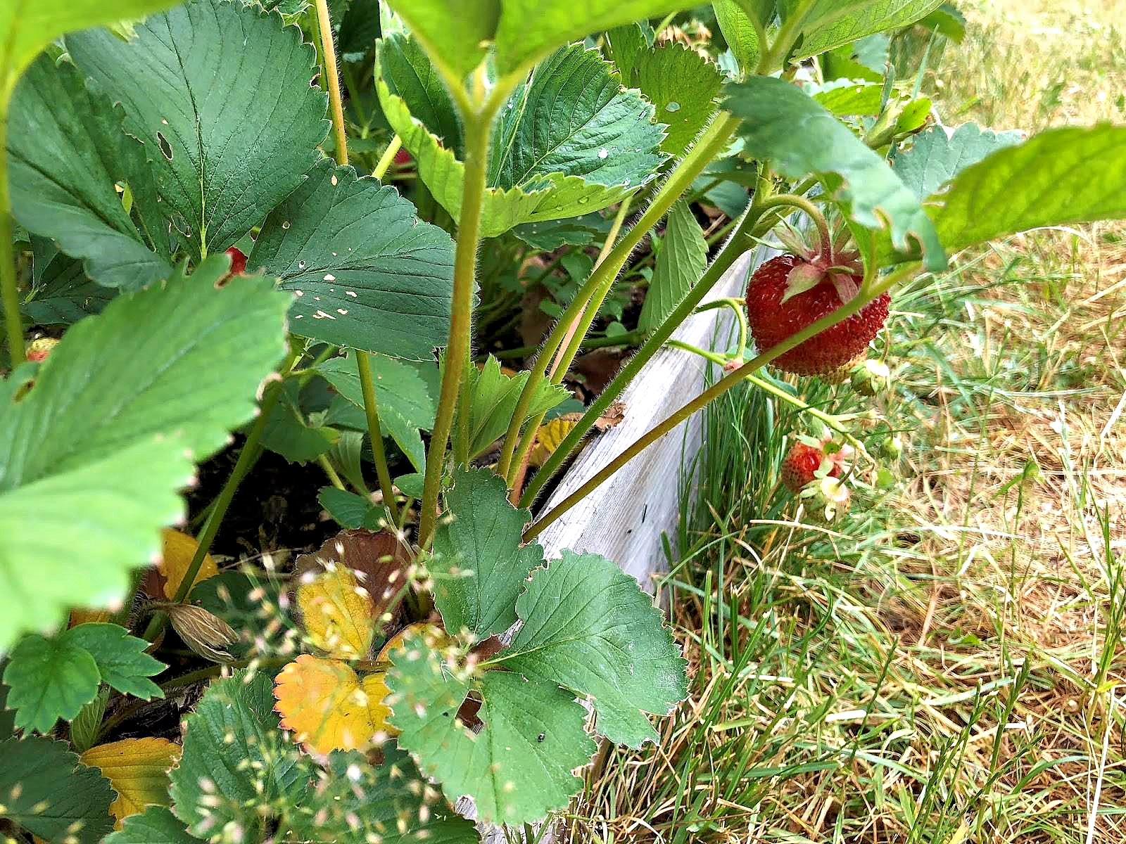 Как избавиться от гусениц на клубнике? Лайфхаки для новичков и опытных агрономов