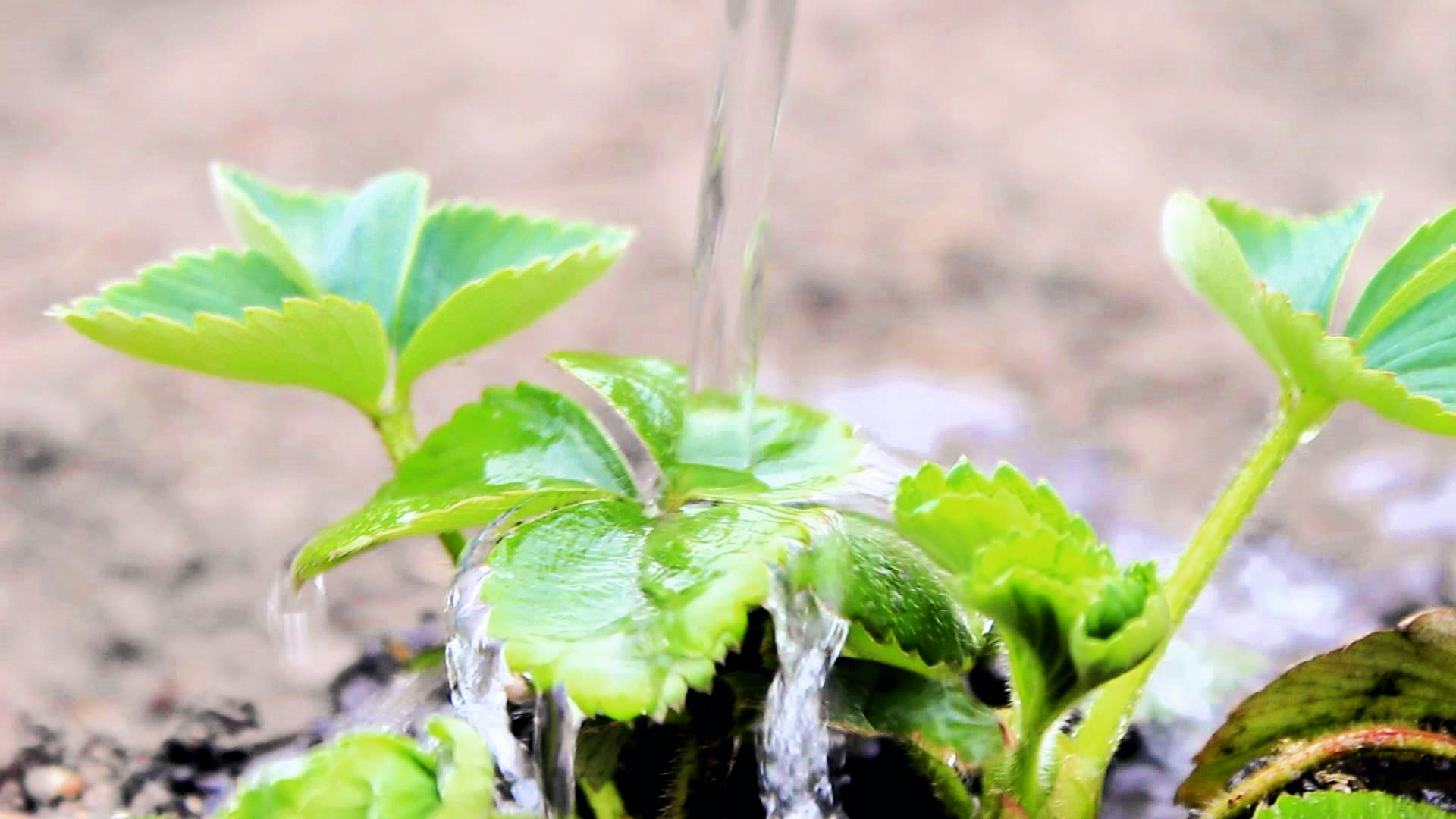 Как поливать клубнику: полезные советы!