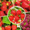 Лакомство с грядки: 10 самых сладких сортов клубники