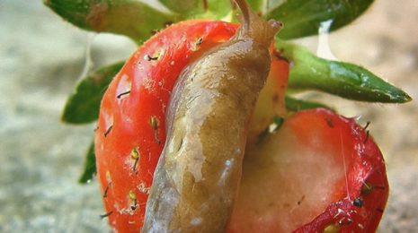 Комплексный подход и регулярность: как защитить клубнику от слизней
